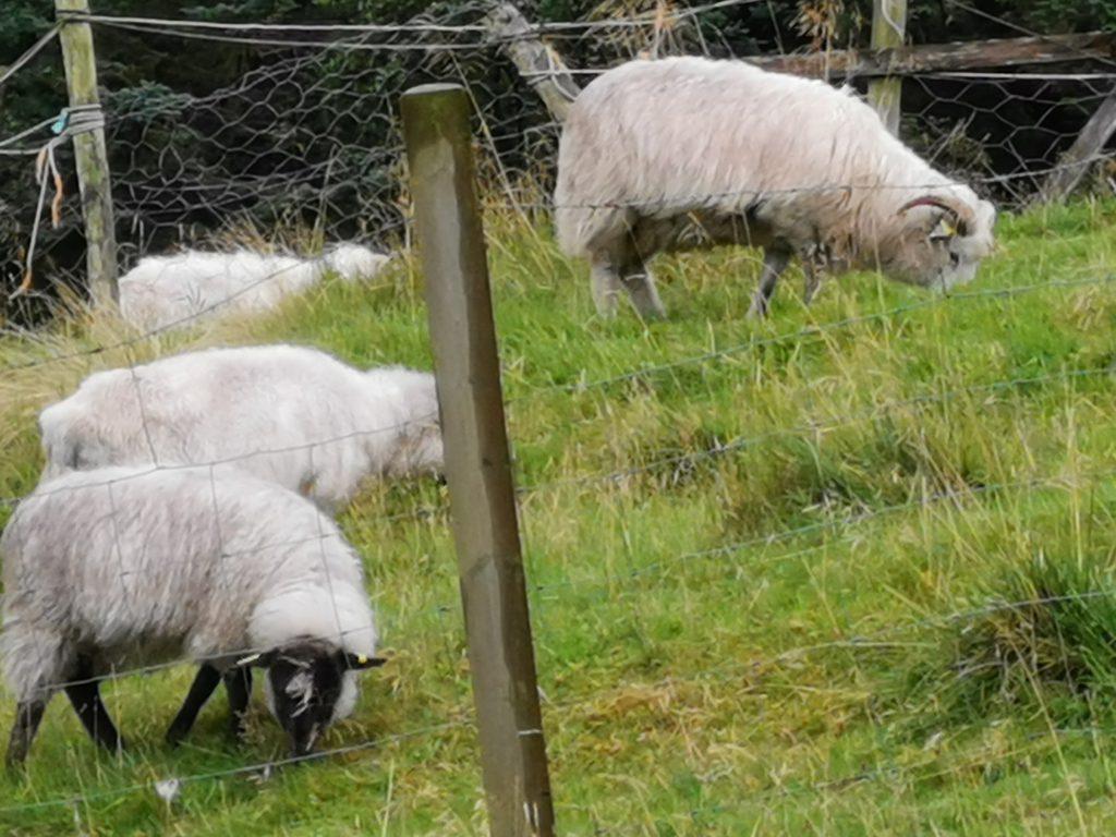 Runde Schafe